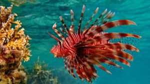 red lionfish photo