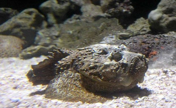 Stonefish photo