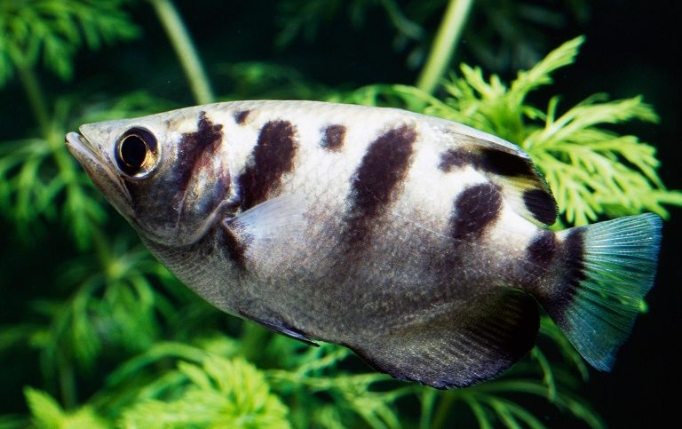 stripped archerfish