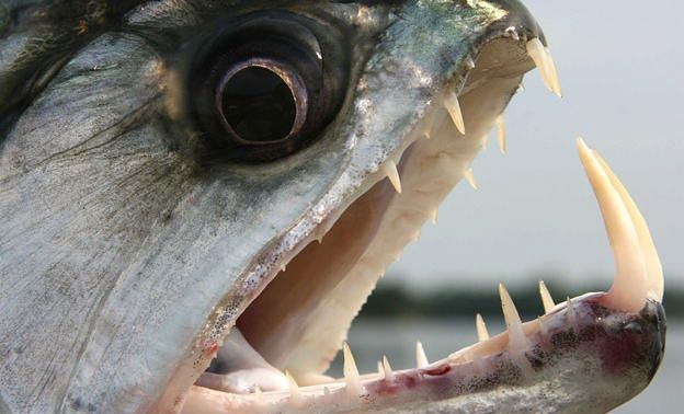 Piranha deadliest Fish