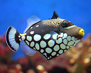 Clown Trigger fish picture