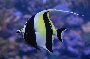 moorish idol fish picture