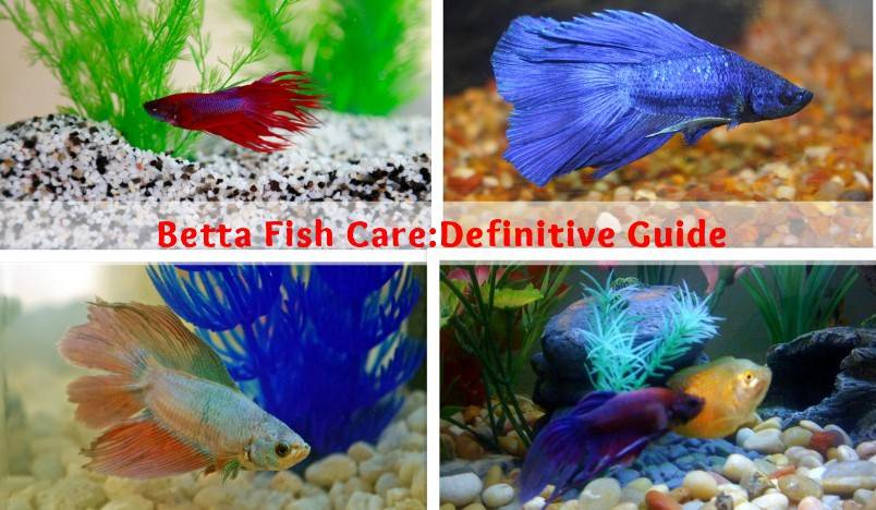 How to Take Care of betta Fish
