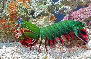 Mantis Shrimp fish picture