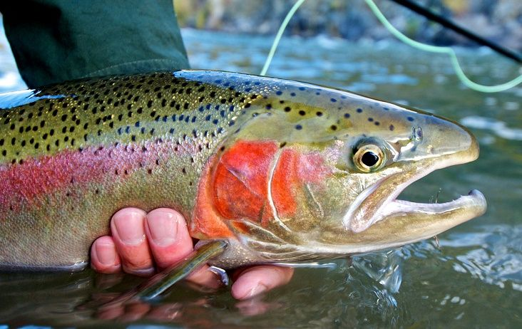 rainbow trout facts classification description and reproduction